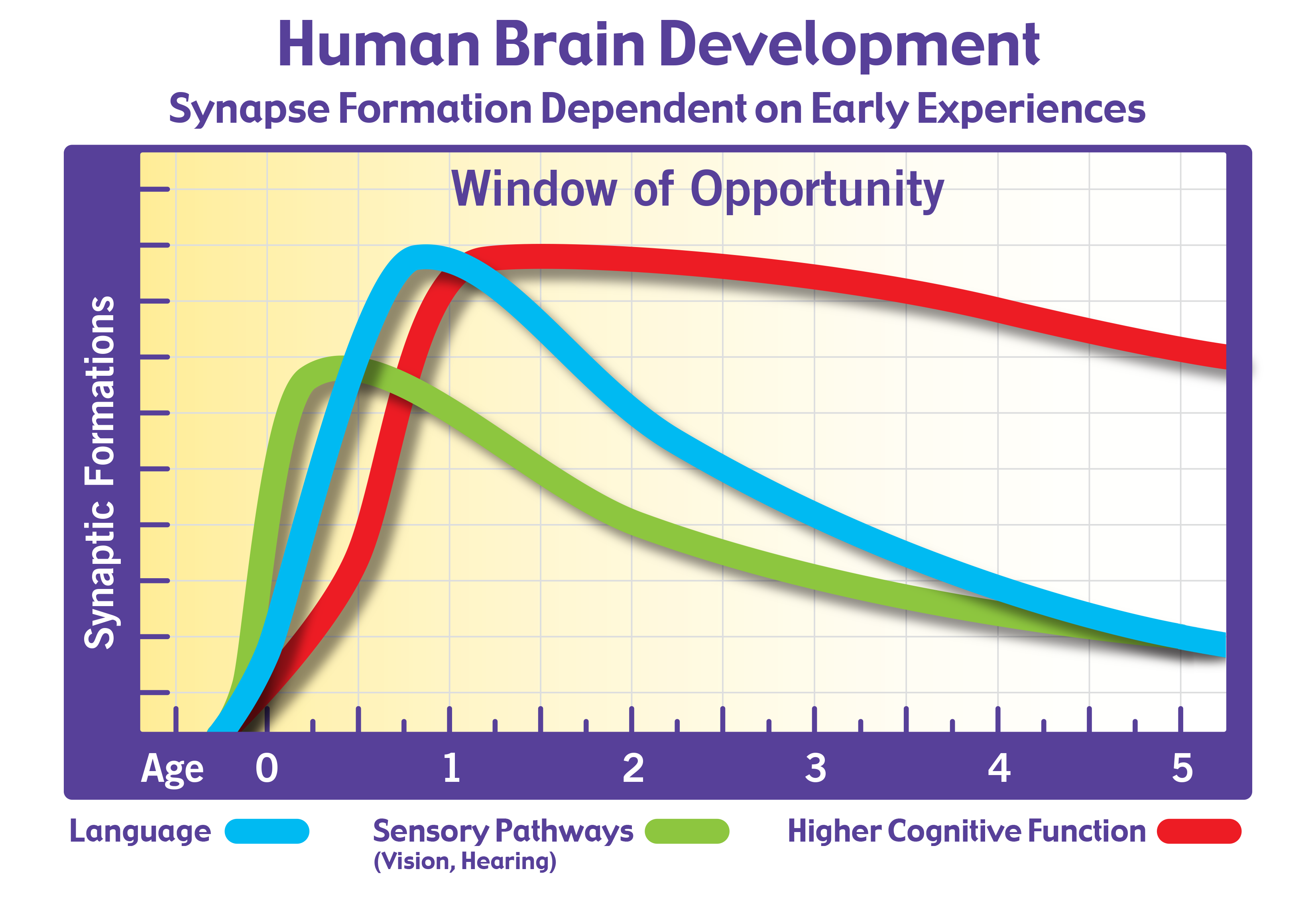 Brain Development and Synaptic Formation Chart - The ...